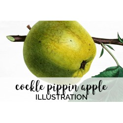 Cockle Pippin Apple