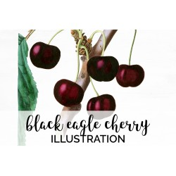 Black Eagle Cherry