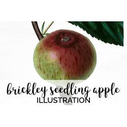 Brickley Seedling Apple
