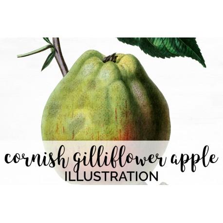 Cornish Gilliflower Apple