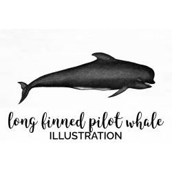 Long finned Pilot Whale