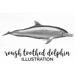 Rough toothed Dolphin