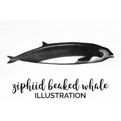 Ziphiid Beaked Whale