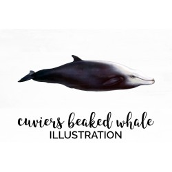 Cuviers Beaked Whale