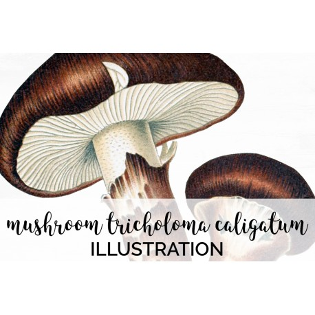 Mushroom Tricholoma Caligatum