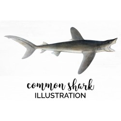 Common Shark