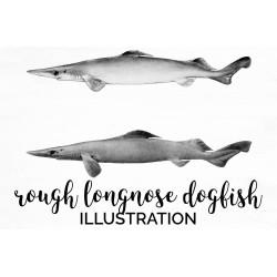 Rough longnose dogfish