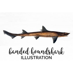 Banded Houndshark
