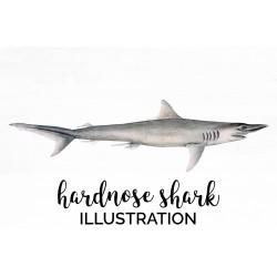 Hardnose Shark