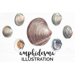 Amphidesma