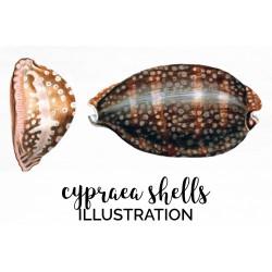 Cypraea Shells