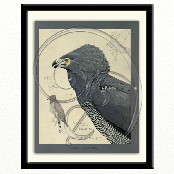 African Harrier Hawk (free download)