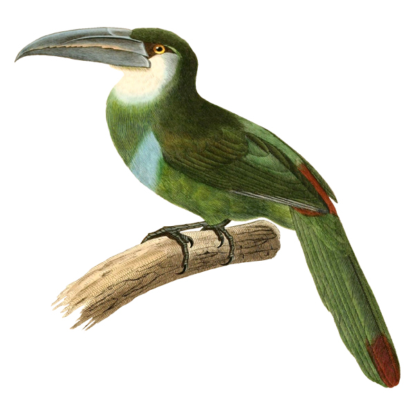 Blue-banded Toucanet (free download)