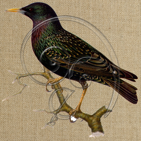 Common starling (free download)