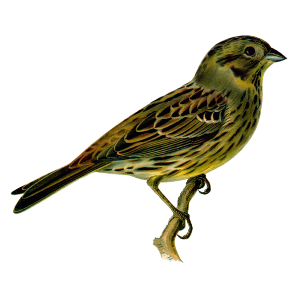 Emberiza citrinella (free download)