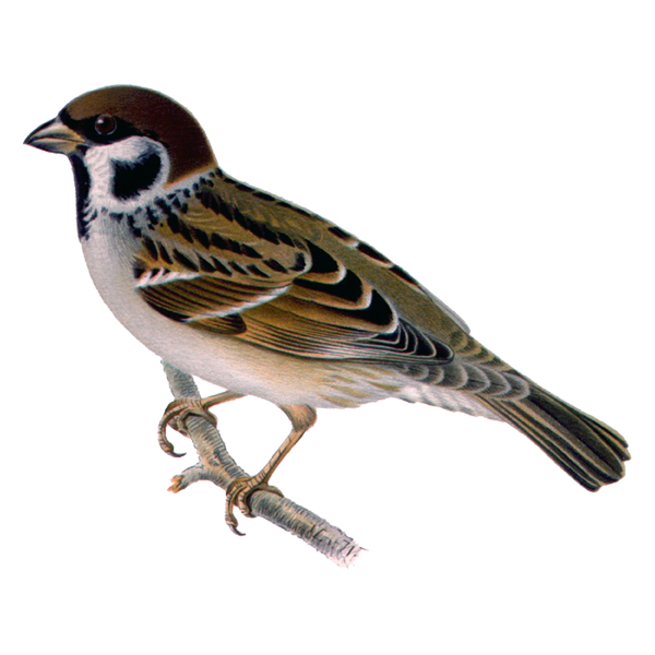 Eurasian tree sparrow (free download)