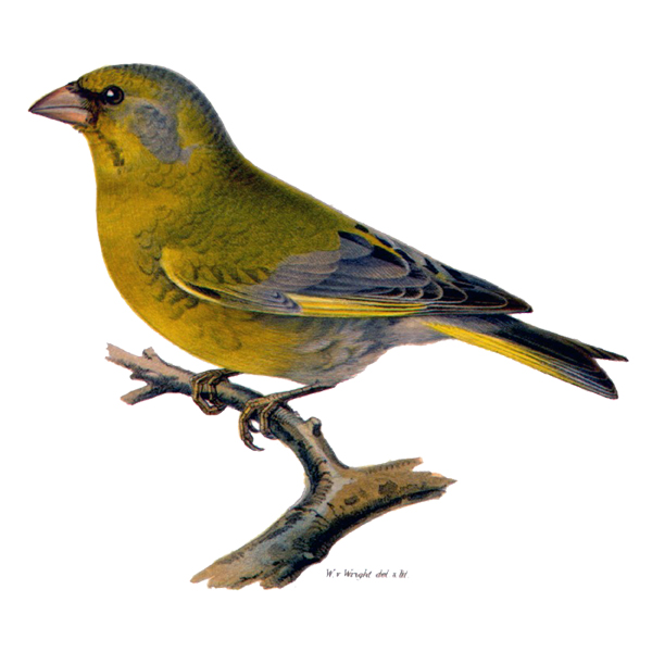 European Greenfinch (free download)