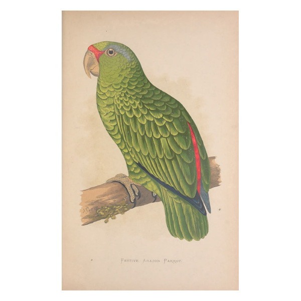 Festive Amazon Parrot Painting (free download)