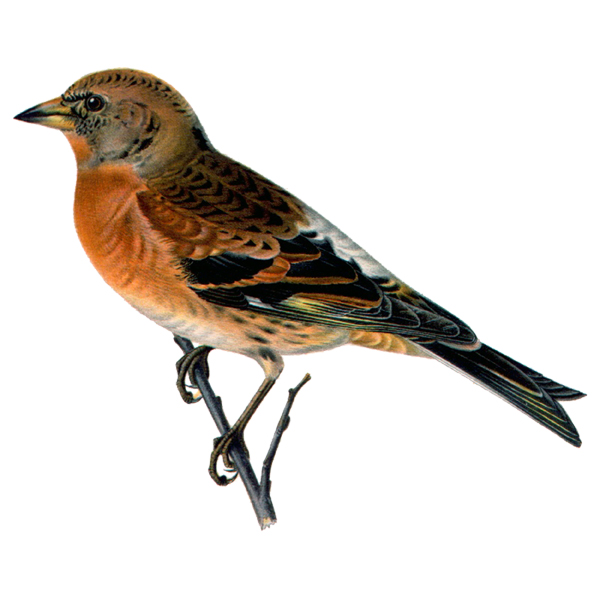 Male Brambling (free download)