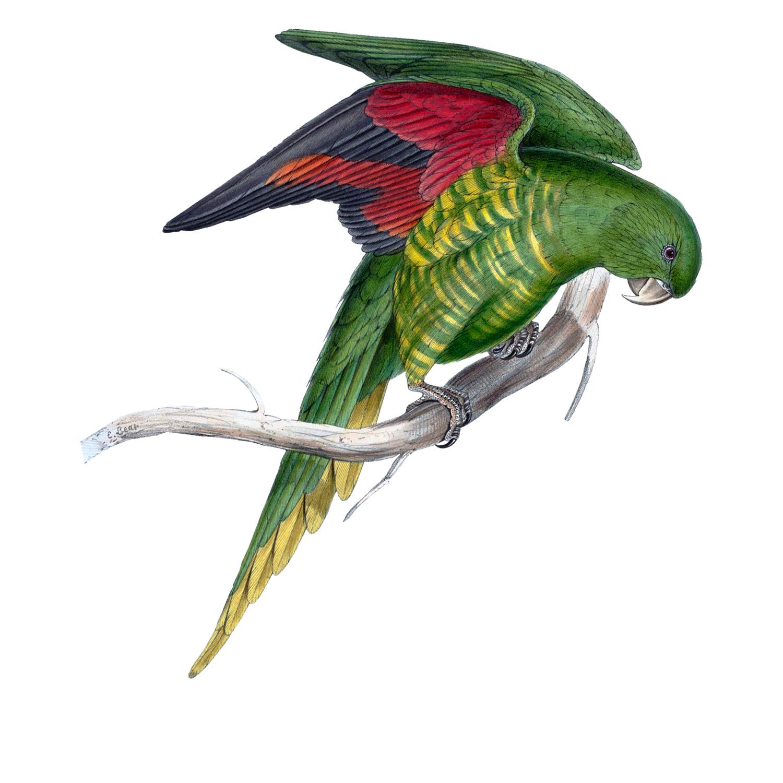 Matons Parakeet (free download)