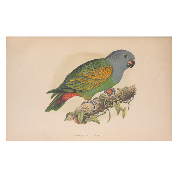 Red Vented Parrot Painting (free download)