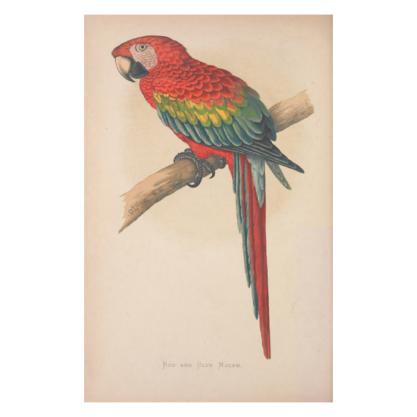Red and Blue Macaw Painting (free download)
