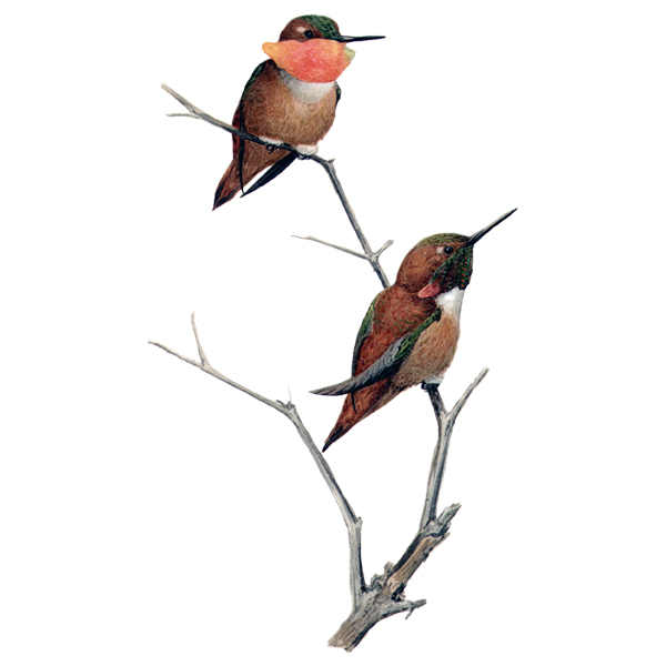 Rufous Hummingbirds (free download)