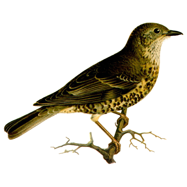 Turdus viscivorus (free download)
