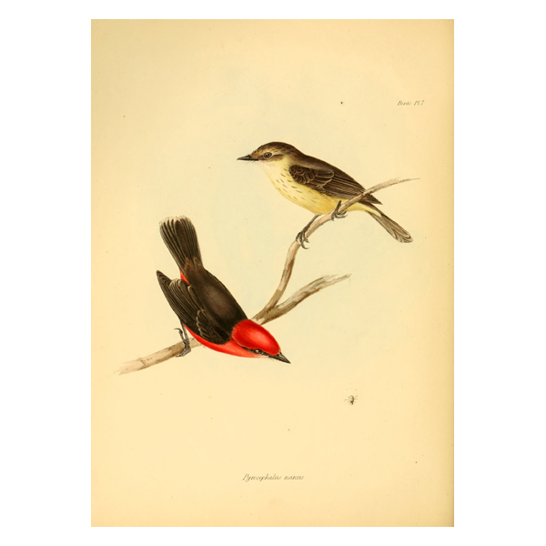 Vermilion Flycatcher2 (free download)