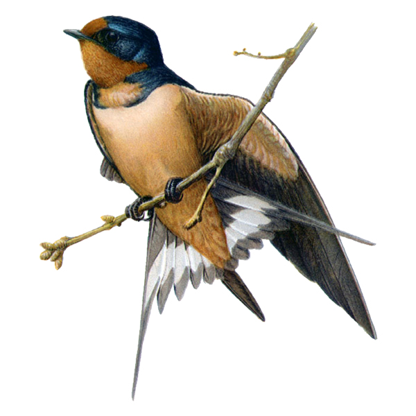 barn swallow (free download)