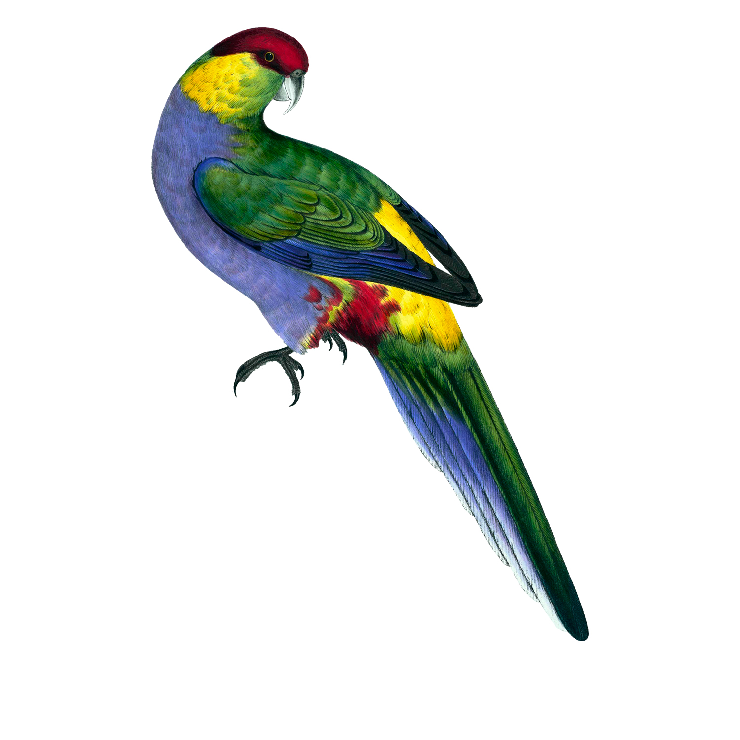 Red-Capped Parrakeet (free vintage clip art)