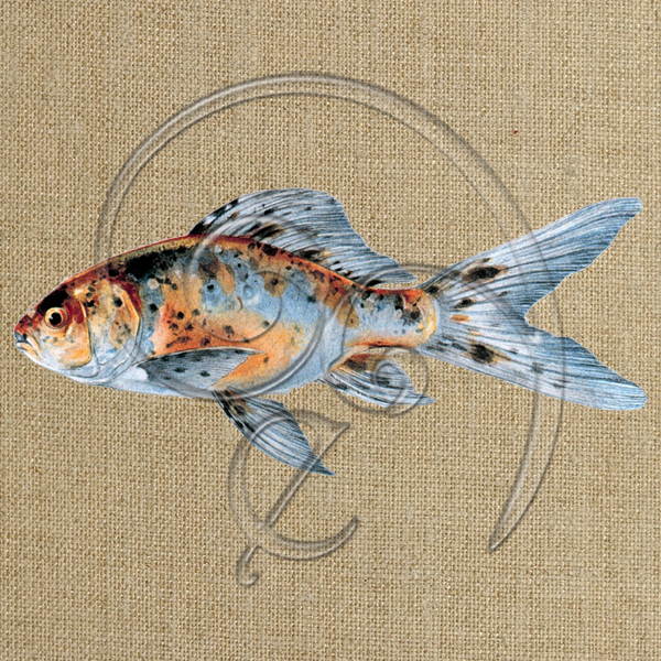 Shubunkin goldfish-Speckled (free download)