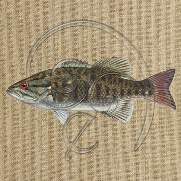 Smallmouth bass (free download)