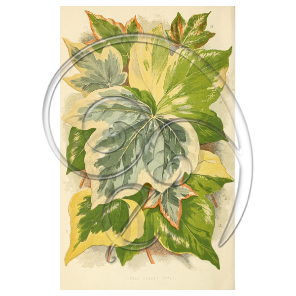 Hardy Garden Ivies (free download)