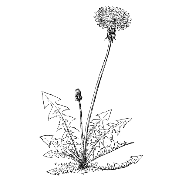 dandelion (free download)