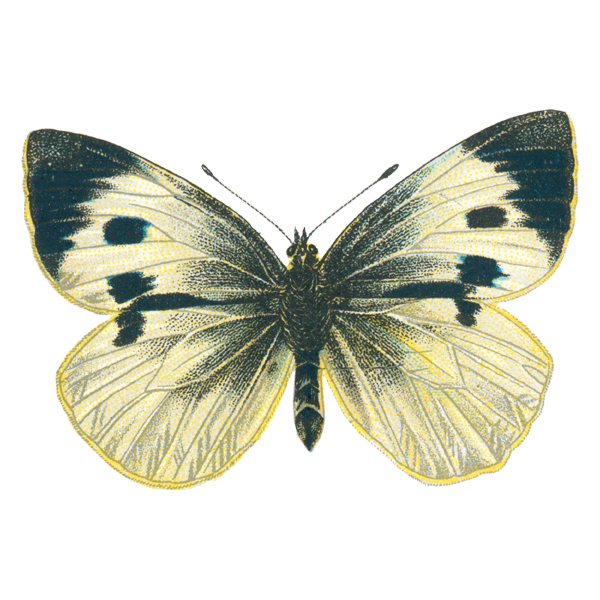 Large Cabbage White (free download)