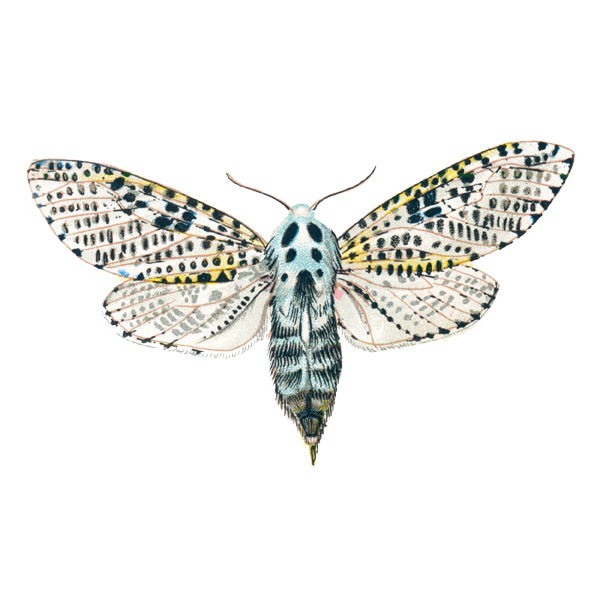 Wood Leopard Moth (free download)