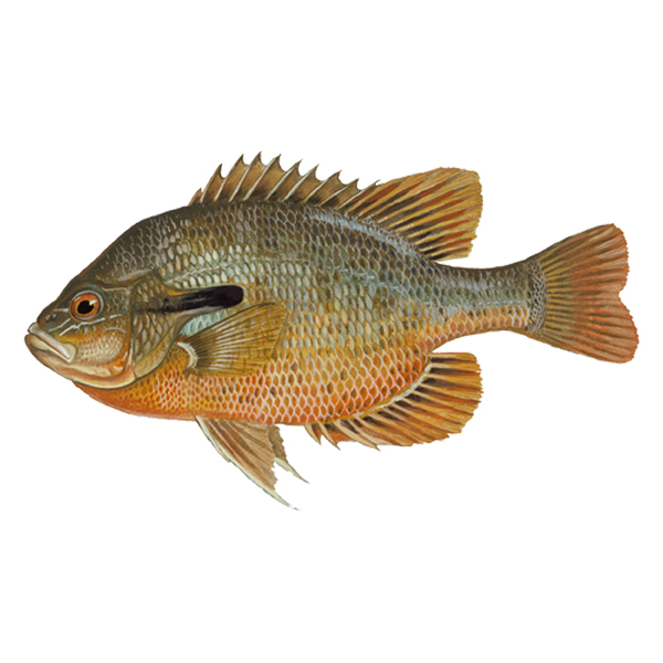 Redbreast sunfish (free download)