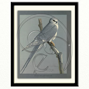 African Swallow Tailed Kite (free download)