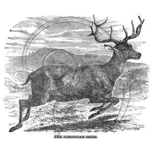 virginian deer (free download)